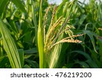 Blooming Maize  Zea Mays  In...