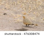Small photo of Chestnut bellied Sandgrouse