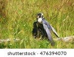 peregrine falcon | Shutterstock . vector #476394070