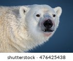 Snaggletooth Polar Bear Looks...