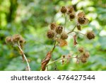 Dry Arctium Lappa  Commonly...