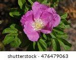 dog rose | Shutterstock . vector #476479063