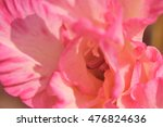 light pink flower of gladiolus... | Shutterstock . vector #476824636