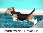 Young Beagle Dog Jumping Into...