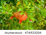 natural pomegranate tree with... | Shutterstock . vector #476923204