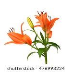Lily Or Daylily Isolated On...