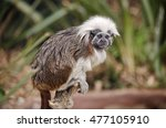 The Cotton Top Tamarin Is...