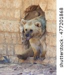 Small photo of Syrian bear - Ursus arctossyriacus - looks out from a passage in the wall