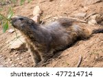 Small photo of marmot with alopecia areata