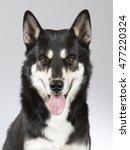Siberian Husky Portrait. Image...