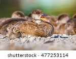 Cute Baby Duck Quack Red...