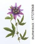 Small photo of Purple Passiflora Flower