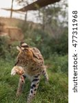 A Young Serval Playing With A...