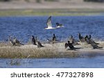 Small photo of African Skimmer along the Chobe River in Botswana