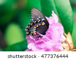 papilio polyxenes on pink... | Shutterstock . vector #477376444