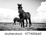 icelandic horses in black and... | Shutterstock . vector #477400660
