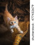 Stock photo little red kitten playing with a broom 477432679