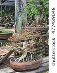 bonsai tree in pot | Shutterstock . vector #477439048