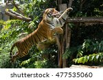 Tiger Jump To Eat Chicken Meat...