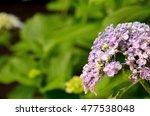 hydrangea | Shutterstock . vector #477538048