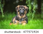 Stock photo german shepherd puppy lying on the lawn 477571924