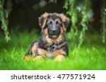 German Shepherd Puppy Lying On...