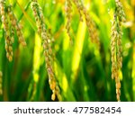 ear of rice | Shutterstock . vector #477582454