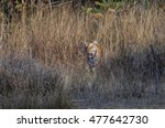 Tiger Behind The Grass ...