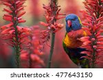 A Rainbow Lorikeet Enjoying Th...