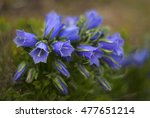 Small photo of Alpine bluebells bloomed in the Carpathians in the beautiful scenic spot in the mountains