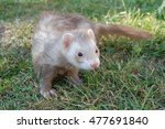Champagne Ferret Adult