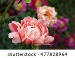 pink flowering peony | Shutterstock . vector #477828964