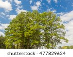 southern yellow pine trees ...
