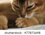 Small photo of Purebred sleepy abyssinian kitten resting
