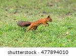 Red Squirrel Running Through...