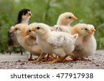 a group chick at farm.  | Shutterstock . vector #477917938