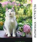 Siberian Tom Cat With Hydrangea ...