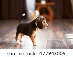 beagle puppy playing at home on ... | Shutterstock . vector #477943009