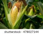 Closeup Corn On The Stalk In...