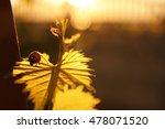 Ladybug On Grape Leaves
