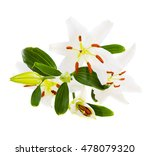 bouquet of white lilies isolated   Shutterstock . vector #478079320