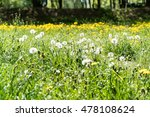 dandelion white and yellow on...   Shutterstock . vector #478108624
