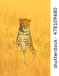 Leopard  Panthera Pardus...
