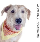 Glen Of Imaal Terrier With A...
