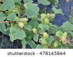 Small photo of spiny fruits of a Xanthium plant