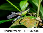 Small photo of Eumastacidae, Green blue monkey grasshopper (Arthropoda: Insecta: Orthoptera: Chorotypidae: Erianthus Versicolor) stay still on a leaf during the night inside the jungle
