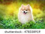 Cute Fluffy Pomeranian Dog...
