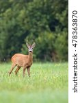 Buck Deer In A Clearing In The...