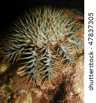 Small photo of crown-of-thorns starfish (Acanthaster planci)nocturnal sea star coral polyps
