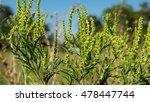 Ambrosia Artemisiifolia Causin...